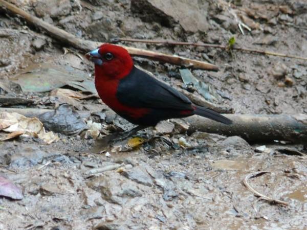Oiseaux le becbleu a tete rouge for Oiseau bec rouge