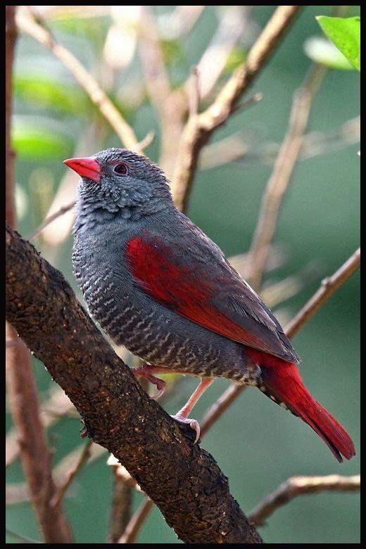Oiseaux le beau marquet a bec rouge ou pytilie lineata for Oiseau bec rouge