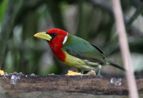 Le barbu t te rouge ou enflamm e oiseau tete rouge for Oiseau vert et rouge