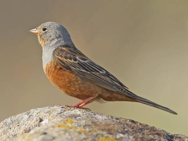 Le blog d 39 un club haut savoyard de passionn s d 39 oiseaux for Oiseau domestique interieur