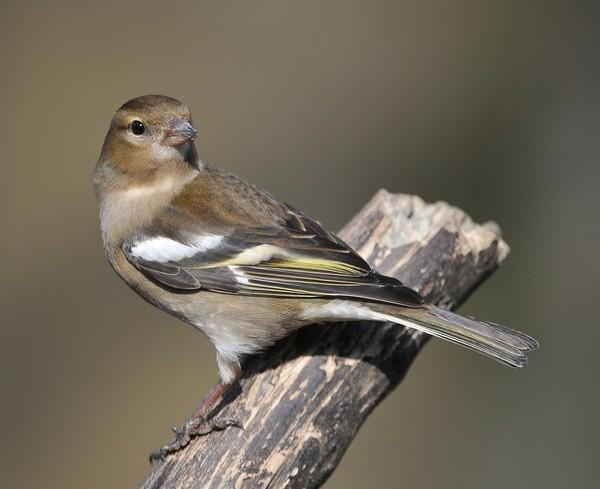 Oiseaux la femelle du pinson des arbres et sa reproduction for Oiseaux du sud de la france