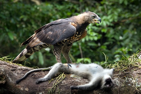 philippine eagle black and white