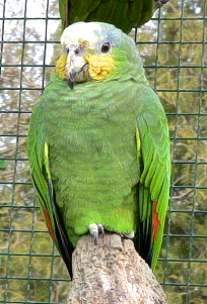 perroquet amazone a front bleu a donner