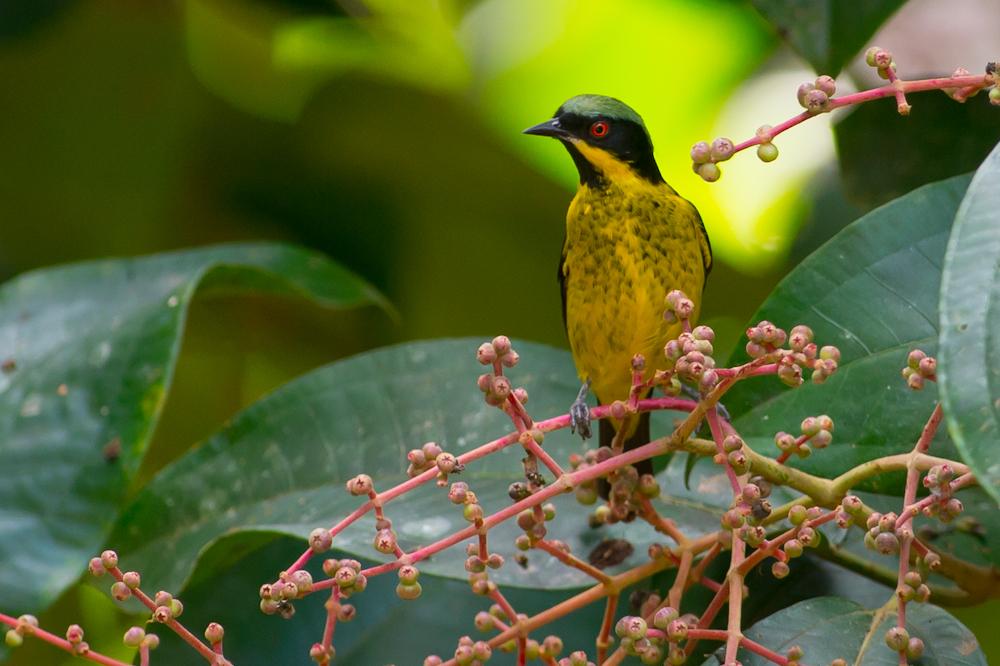Oiseaux le dacnis a ventre jaune dacnis flaviventer for Oiseau ventre jaune