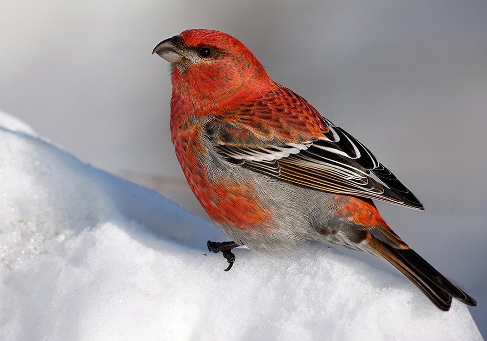 Gros bec dur bec for Oiseau bec rouge