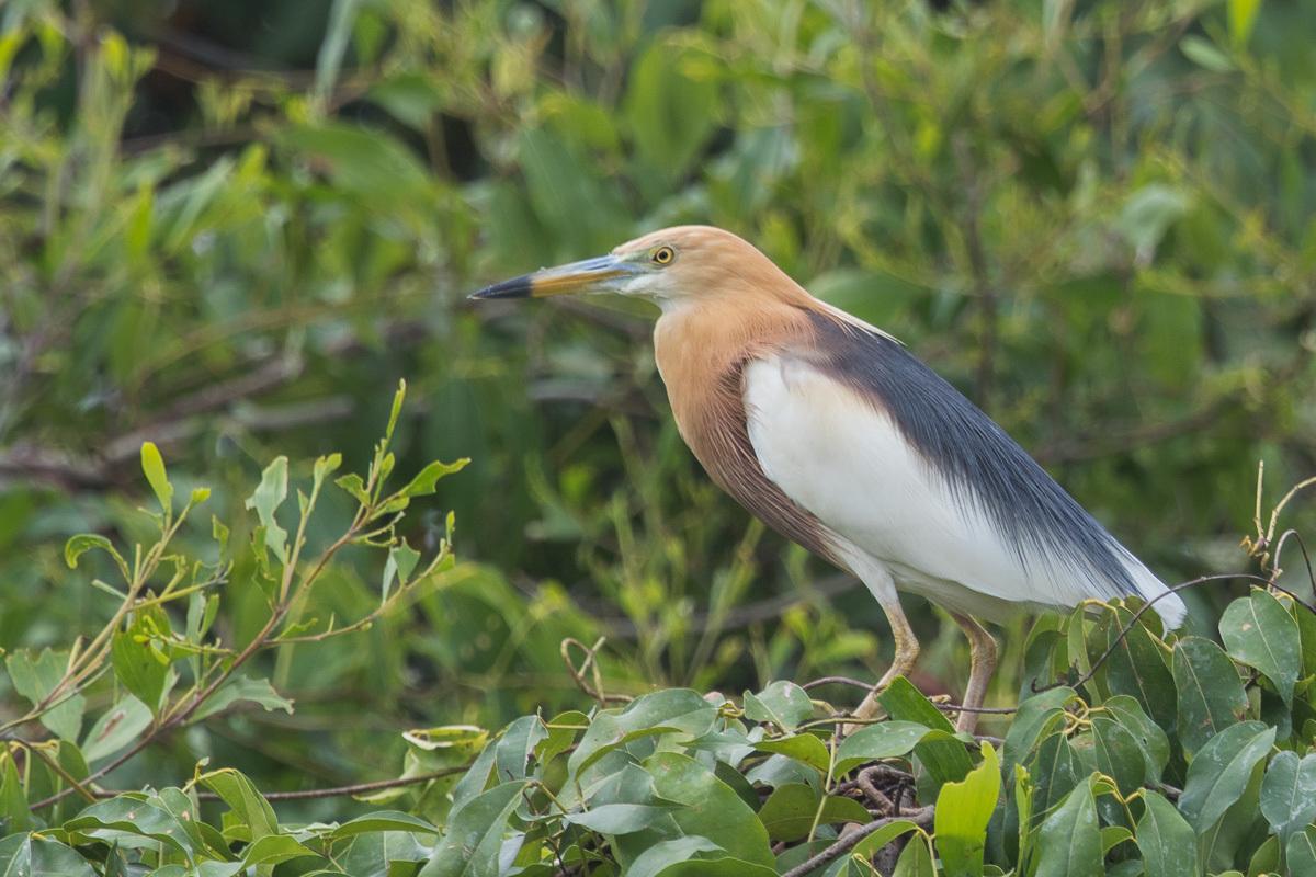 Les oiseaux du faucigny page 26 for Oiseau commun