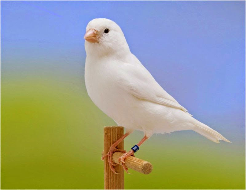 oiseaux le canari blanc recessif