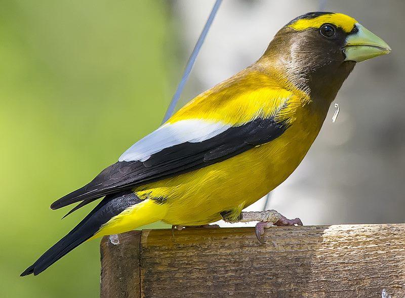 Gros bec dur bec for Oiseau noir bec jaune