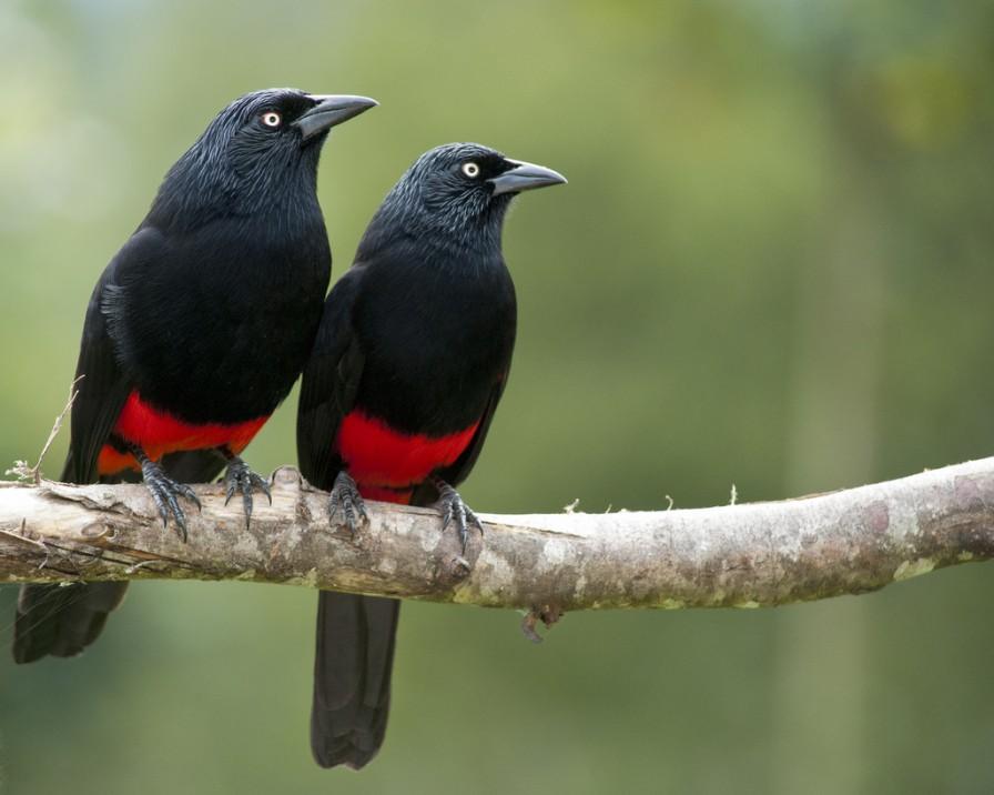 Oiseaux le quiscale a ventre rouge for Oiseau orange et noir