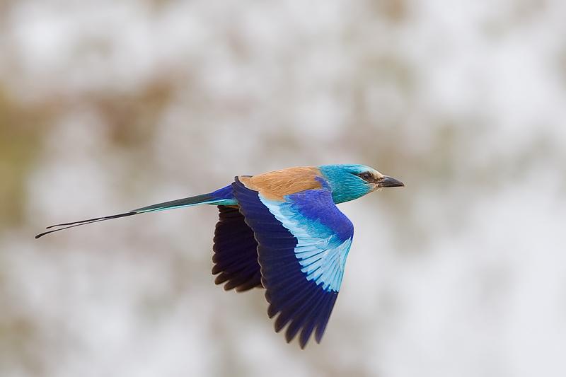 Oiseaux le rollier d 39 abyssinie en vol - Jeux d oiseau qui vole ...