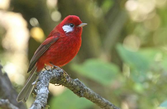 Le blog d 39 un club haut savoyard de passionn s d 39 oiseaux for Oiseau bec rouge