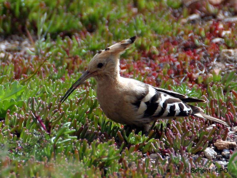 Huppe fasci e upupa epops oiseau long bec for Oiseau a long bec